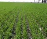 Осінній захист озимої пшениці від шкідників і хвороб фото, ілюстрація