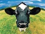 Українське молоко:  працювати, як за соціалізму,  а жити, як за капіталізму фото, ілюстрація