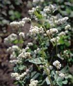 На білу гречку впали роси… фото, ілюстрація