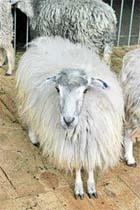 Племінна справа  у вівчарстві України фото, ілюстрація