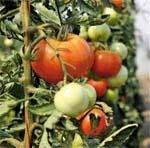 Вірус скручування листків помідора: погляд практика фото, иллюстрация