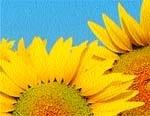 Застосування добрив Еколист на сої та соняшнику фото, ілюстрація