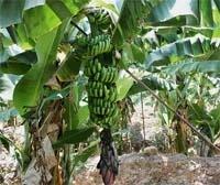 Подорож до бананового краю фото, ілюстрація