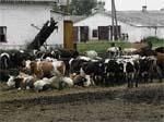 Проблеми українського скотарства: погляд зсередини і ззовні фото, ілюстрація