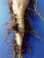 Ризики вирощування ріпаку і кукурудзи у бурякових сівозмінах фото, ілюстрація