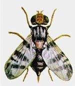 Інтегрована програма контролю  шкідливих організмів на черешні фото, ілюстрація