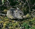 Озимим зерновим культурам та ріпаку загрожують мишоподібні гризуни фото, ілюстрація