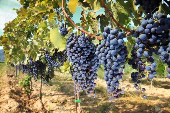 Підживлення винограднику фото, ілюстрація