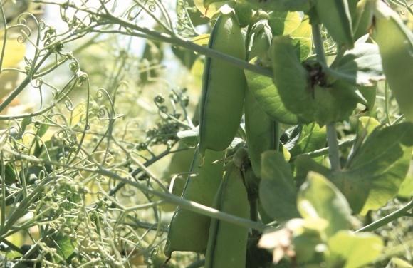 Діагностика хвороб насіння гороху та сої фото, ілюстрація