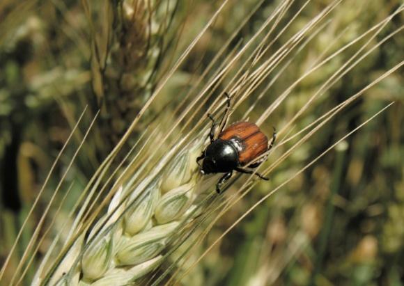Защита зерновых культур от вредителя хлебного жука фото, иллюстрация