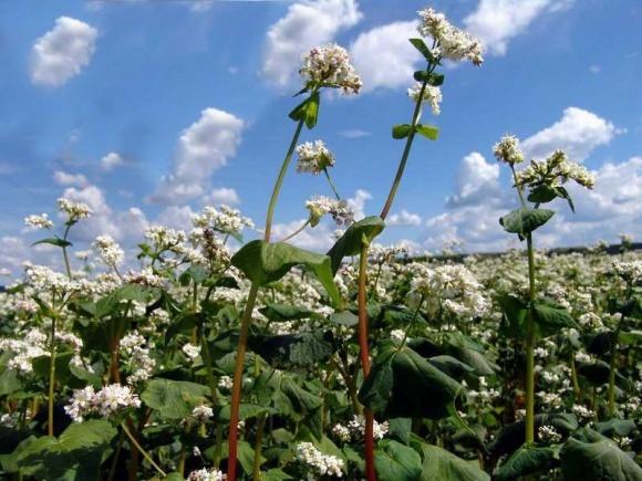 Как вырастить высокий урожай гречихи фото, иллюстрация