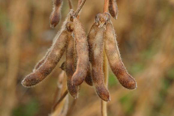 Нетрадиційний підхід до підвищення урожайності сої фото, ілюстрація