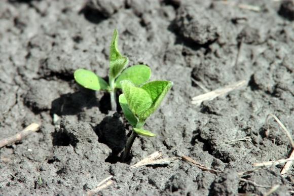 Зернобобові культури.Что вирощувати? фото, ілюстрація
