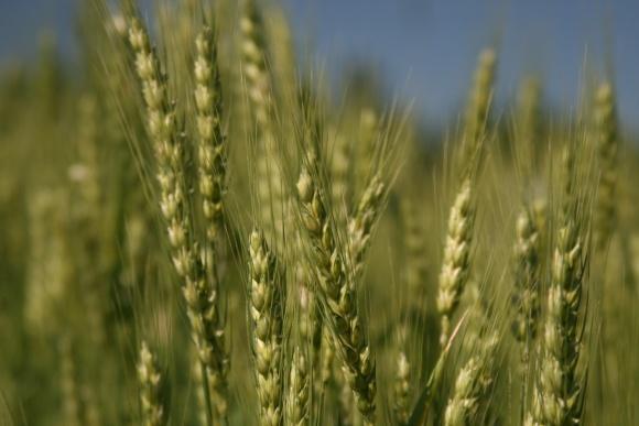 Факторы, влияющие на урожайность пшеницы  фото, иллюстрация