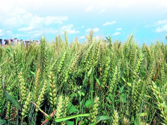 Незаменимые микроэлементы для зерновых фото, иллюстрация