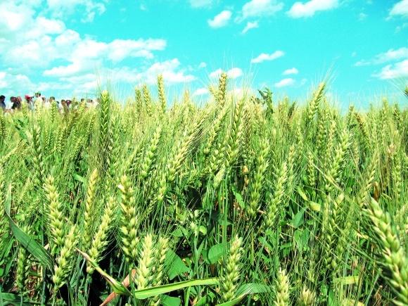 Інтегрований захист зернових колосових культур фото, ілюстрація