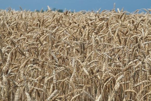 Хто шкодить зерновим у 2021 році фото, ілюстрація