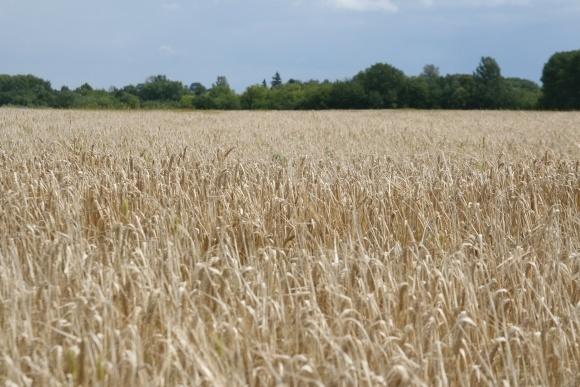 Хвороби колоса пшениці: діагностика, шкідливість і заходи захисту фото, ілюстрація