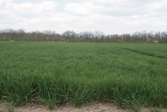 Баковые смеси гербицидов: эффективный контроль сорняков в озимых фото, иллюстрация