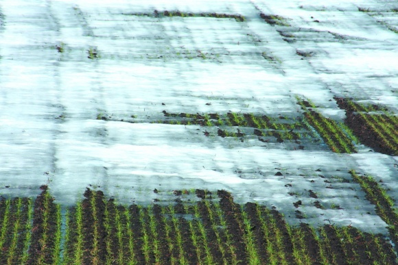 Весняне підживлення озимої пшениці фото, ілюстрація