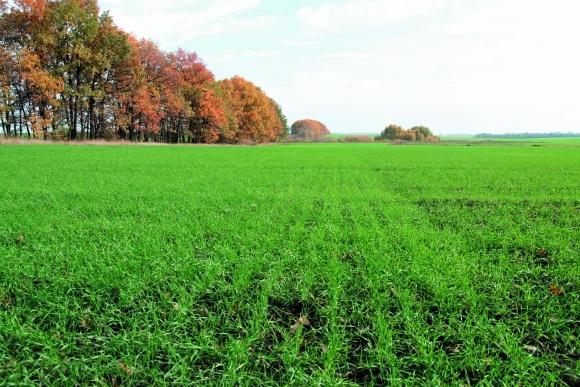 Строки сівби озимої пшениці: рекомендації та реалії фото, ілюстрація