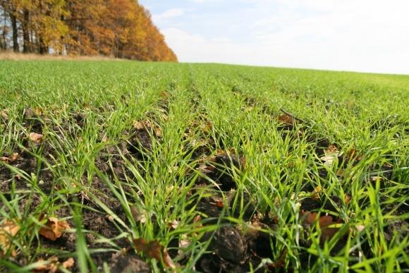 Оптимізація вирощування озимої пшениці фото, ілюстрація