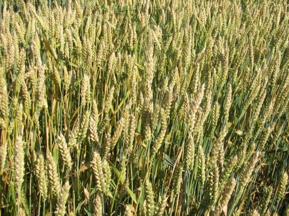 Бактеріальні хвороби зернових: скринінг, діагностика і профілактика фото, ілюстрація