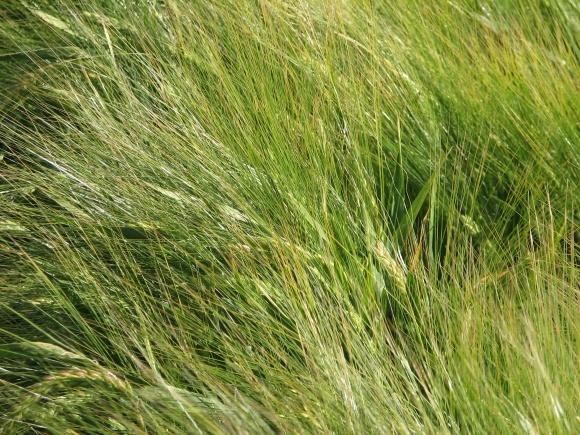 Хвороби ячменю ярого на початку вегетації рослин фото, ілюстрація