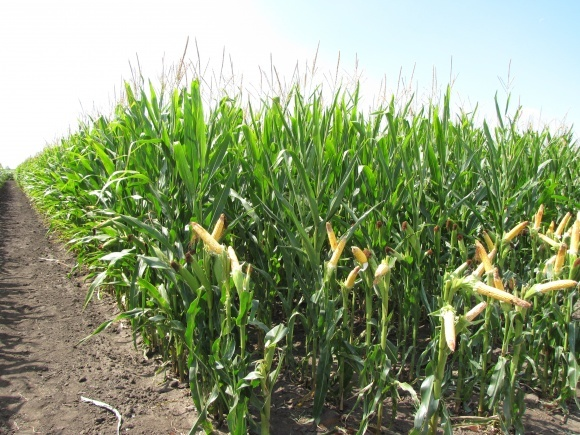 Бур'яни кукурудзи: особливості появи в різних зонах фото, ілюстрація