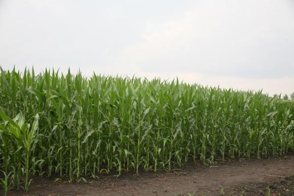 Своєчасна обробка кукурудзи забезпечить високий врожай фото, ілюстрація