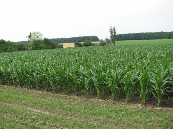 Кораген® - унікальний захист кукурудзи фото, ілюстрація