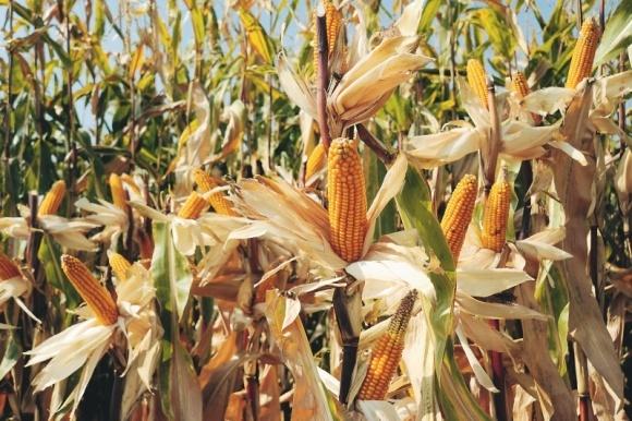 Кораген® — лидер защиты кукурузы от вредителей фото, иллюстрация