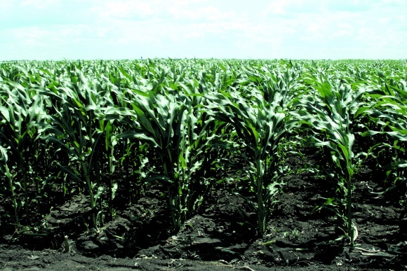Кукурудза в короткоротаційній сівозміні фото, ілюстрація