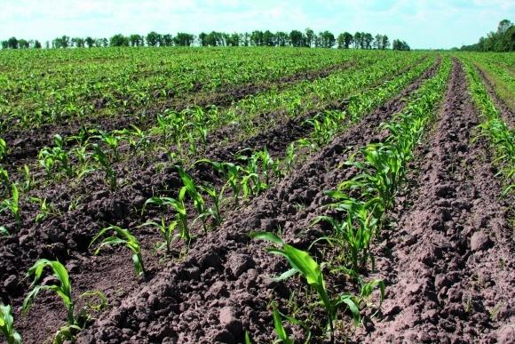 Каждой почвенно—климатической зоне свой гибрид кукурузы фото, иллюстрация