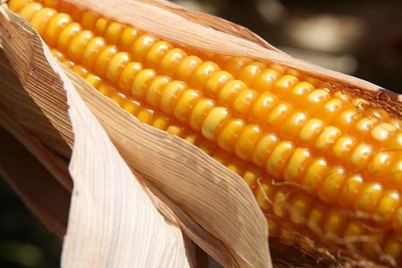 Вологість зерна кукурудзи під час збирання: формування, облік, значення фото, ілюстрація