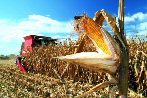 Выращивание кукурузы: разным зонам Украины — своя кукуруза фото, иллюстрация