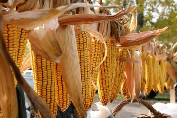 Болезни кукурузы и меры борьбы с ними  фото, иллюстрация