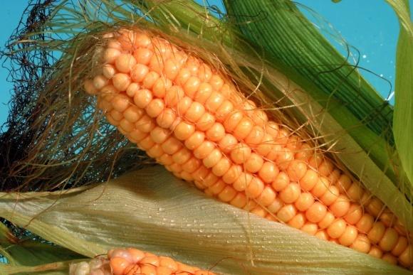 Нові можливості і «спеціальні» гібриди кукурудзи фото, ілюстрація