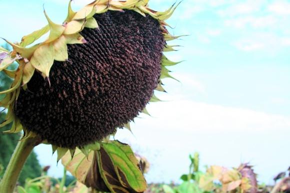 Гнилі соняшнику та заходи щодо обмеження їх шкідливості фото, ілюстрація