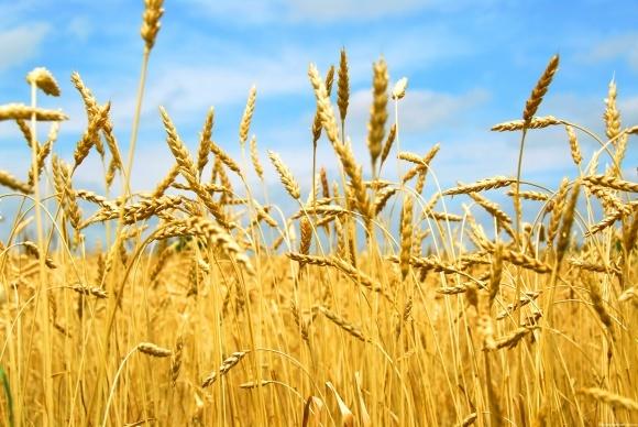Уход за посевами озимой пшеницы в поздние фазы вегетации фото, иллюстрация