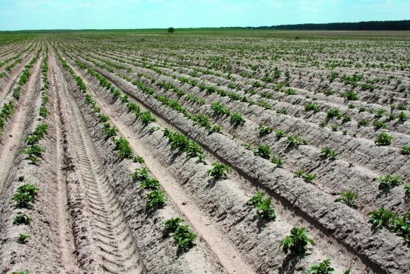 Посадка картофеля: правильная глубина, удобрение и уход фото, иллюстрация