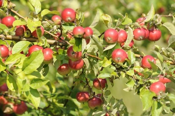 Фунгіцидний захист яблуневих садів фото, ілюстрація