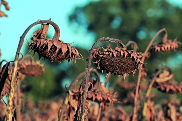 Десикація посівів соняшнику фото, ілюстрація