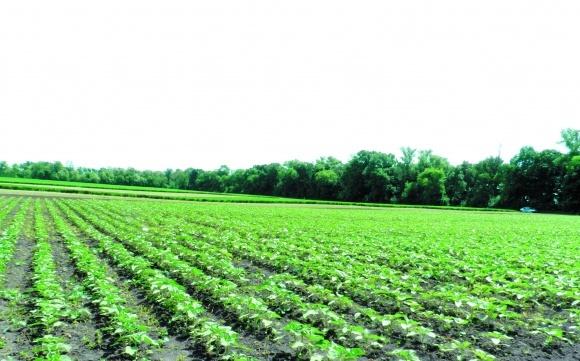 Ефективність ґрунтових гербіцидів на посівах соняшнику фото, ілюстрація