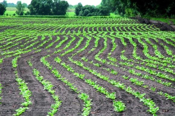 Гербіциди для захисту цукрових буряків в умовах мінливої весни? фото, ілюстрація