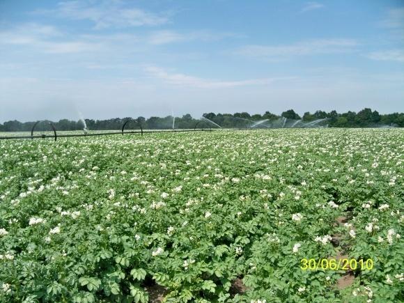 Фунгіцидні заходи боротьби з фітофторозом, альтернаріоз, фітофторою картоплі фото, ілюстрація