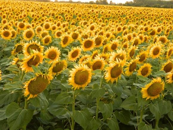 Гібриди АФ «Сади України»: стабільність та результативність фото, ілюстрація