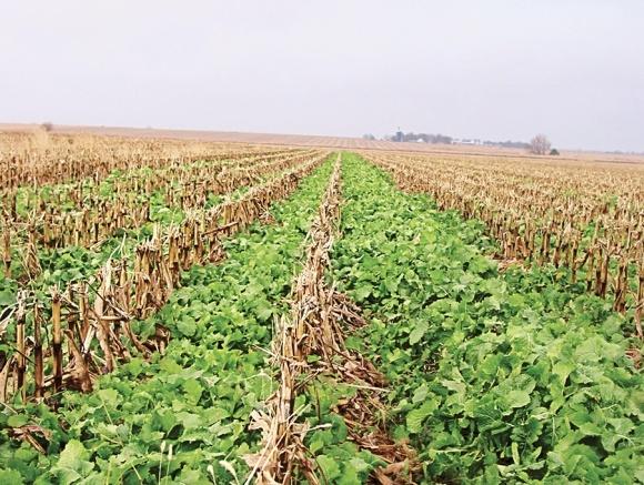 Соя та кукурудза — оптимальна сівозміна чи виснажування ґрунту фото, ілюстрація