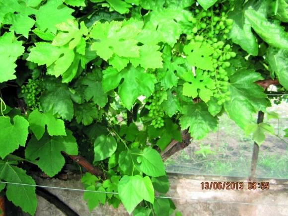 Найпоширеніші шкідники виноградників фото, ілюстрація