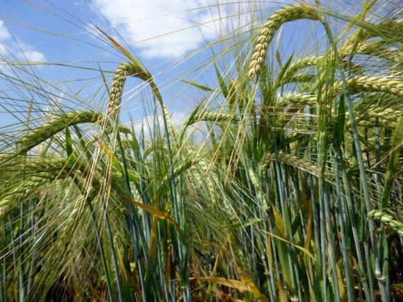 Особливості захисту озимих зернових культур в осінній період фото, ілюстрація